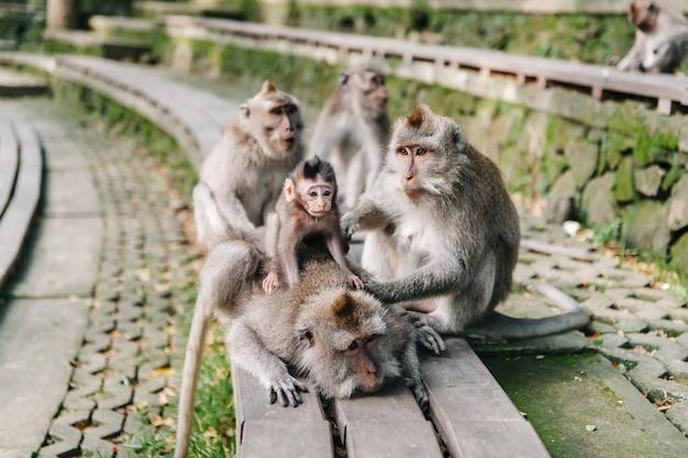 Família de macaco com bebê na floresta ubud bali indonésia