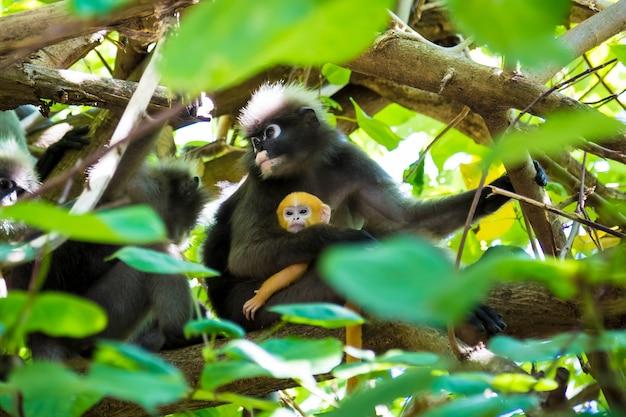 Família de macaco de folha escura ou langur de óculos com bebê amarelo na árvore trachypithecus obscurus