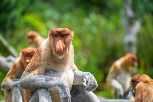 Família de macaco probóscide selvagem ou nasalis larvatus, na floresta tropical da ilha de bornéu, malásia, close-up. macaco incrível com um nariz grande.