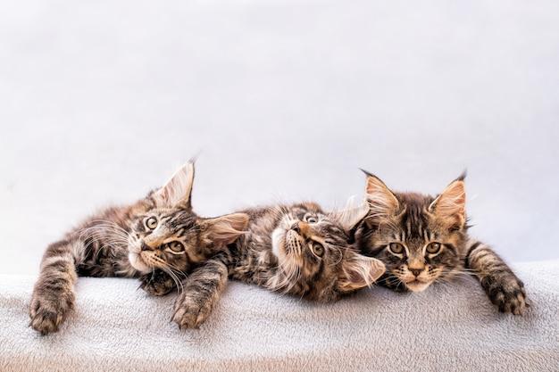 Família de mainecoon, três gatinhos deitados em um cobertor leve e fofo