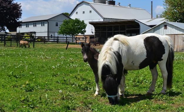 Família de mini cavalos realmente bonita em uma pastagem de grama.