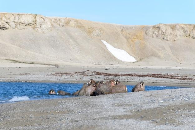 Família de morsa deitada na praia. paisagem ártica.