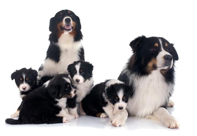Família de pastor australiano