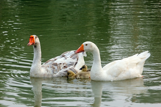 Família de pato em um lago