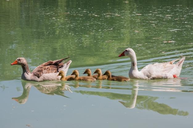 Família de patos em um lago