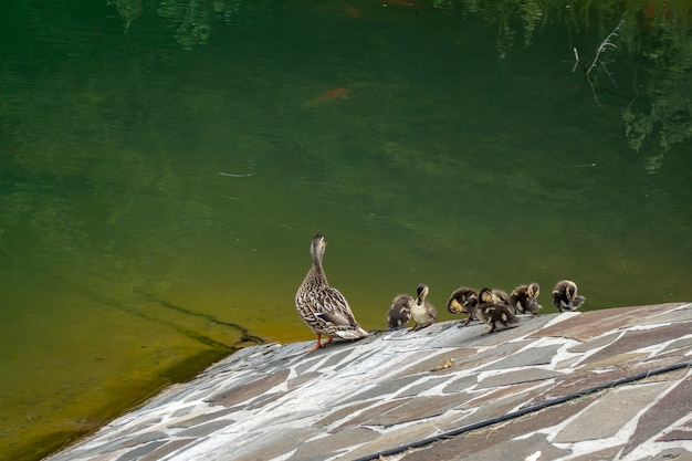 Família, de, patos, perto, lago artificial