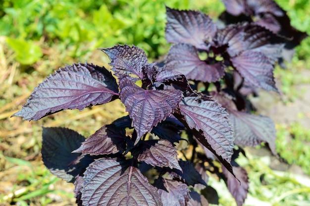 Família de plantas do manjericão picante - perilla, crescendo no solo