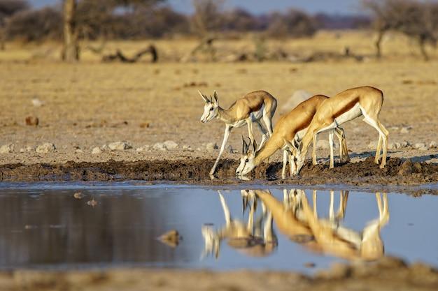 Família de springboks bebendo água de um lago sujo