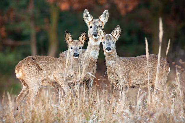 Família de veados em pé em campo seco no outono