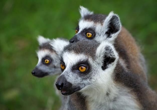 Família do lêmure de cauda anelada (lemur catta).