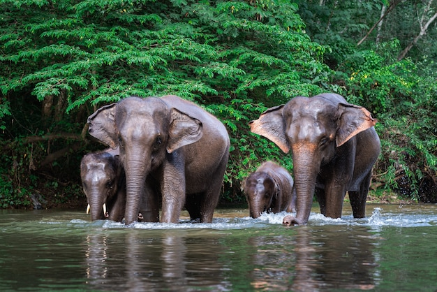 Família elefante, em, água