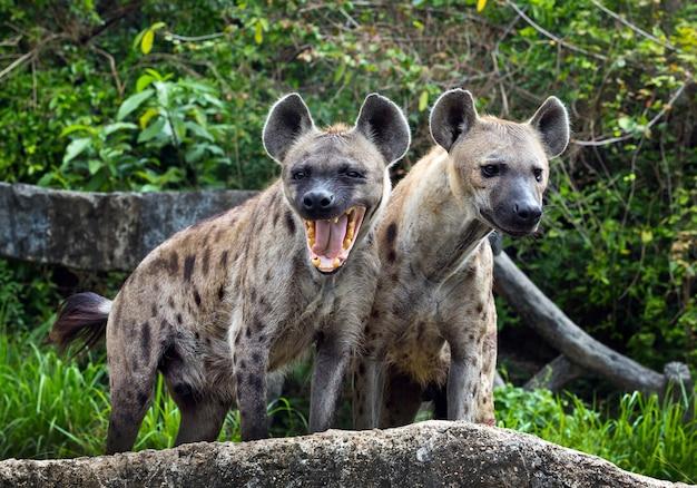 Família hiena manchada em estado selvagem.