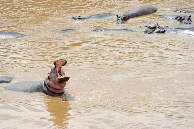 Família hipopótamo (hippopotamus amphibius) na água, áfrica