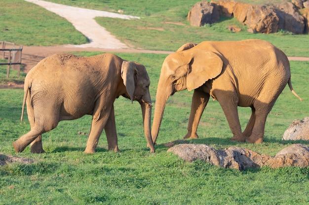 Família incrível de elefantes. mãe, pai e filho