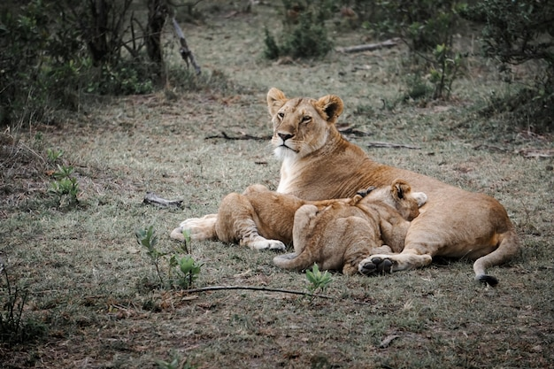 Família leonística composta por mãe e filhos em masai mara, áfrica