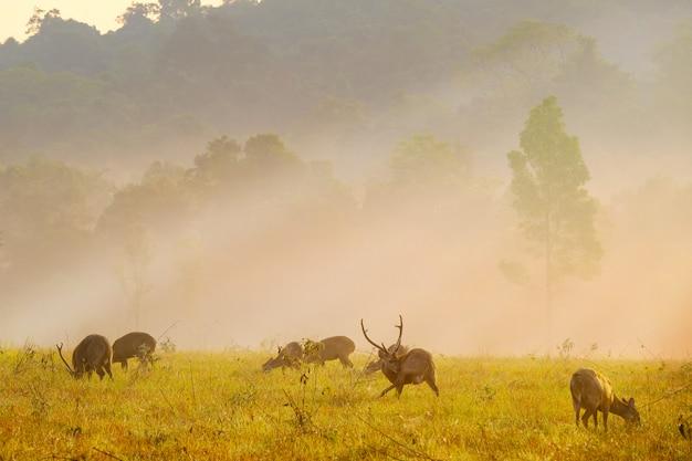 Família, pôr do sol, veado, em, thung, kraang, chaiyaphum, província, tailandia