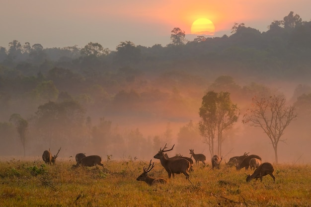 Família sunset deer na província de thung kramang chaiyaphum, tailândia