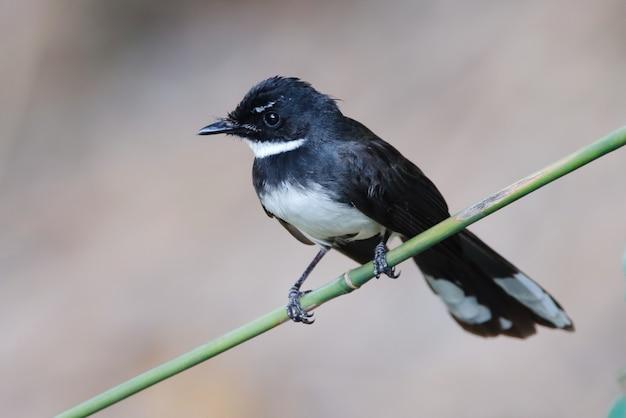 Fantail arborizado da malásia rhipidura javanica belas aves da tailândia empoleirar-se na árvore