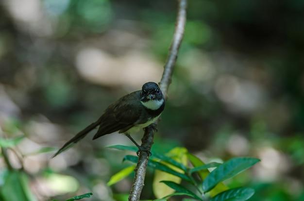 Fantail pied da malásia (rhipidura javanica) na natureza
