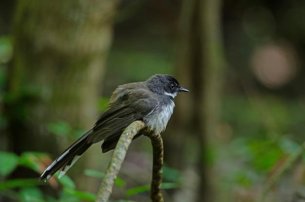 Fantail pied da malásia (rhipidura javanica)