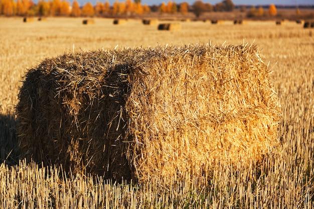 Fardos de feno espalhados pelo campo após a colheita.