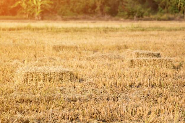 Fardos de palha de arroz no fundo de campo de arroz, conceito de agricultura design natural