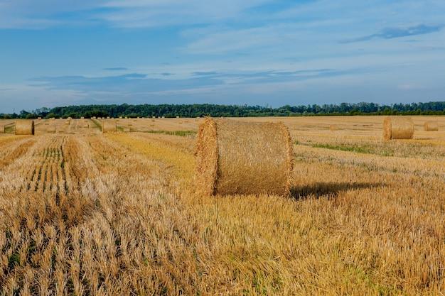 Fardos de palha de ouro amarelo de feno no campo de restolho, campo agrícola sob