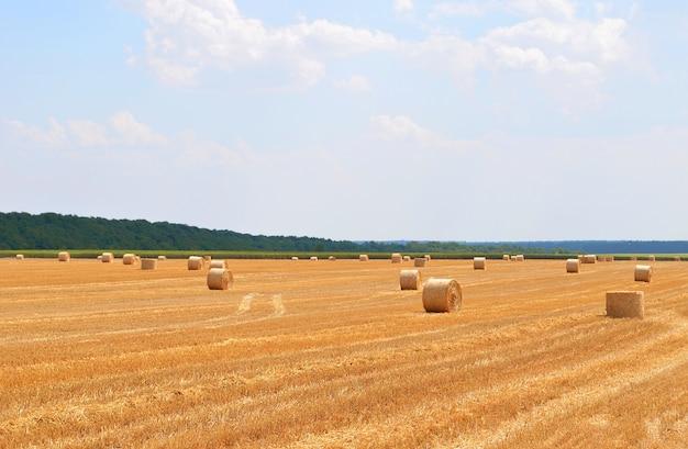 Fardos redondos de feno no campo na época da colheita