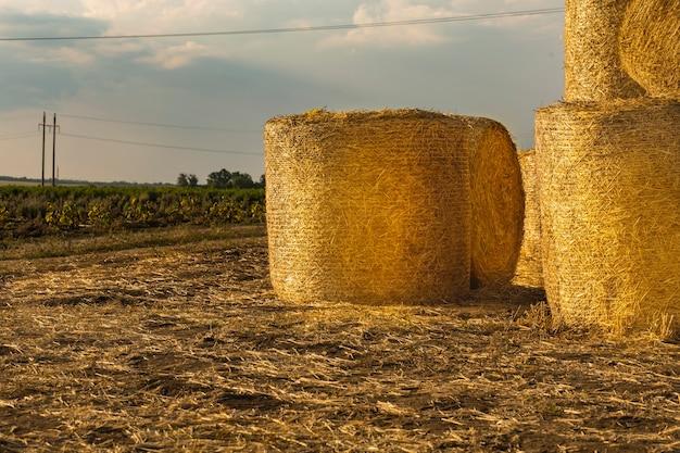 Fardos redondos de feno são empilhados em um campo após a colheita de tecnologias agrícolas de trigo