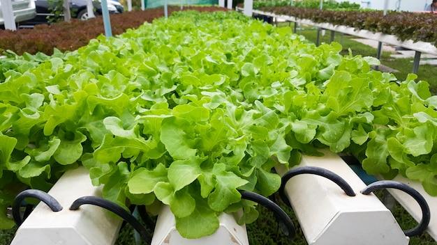 Farm nabiças vegetais hidropônicos orgânicos sem solo