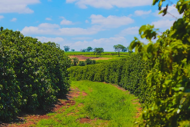 Farme da indústria cafeeira