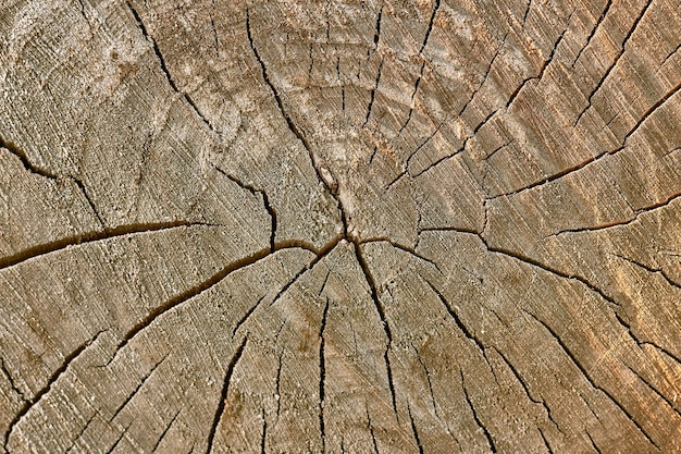 Fatia de madeira com textura, fundo de toco de árvore.