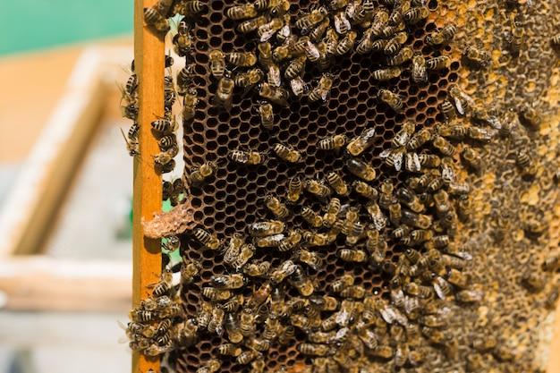 Favo de mel com abelhas