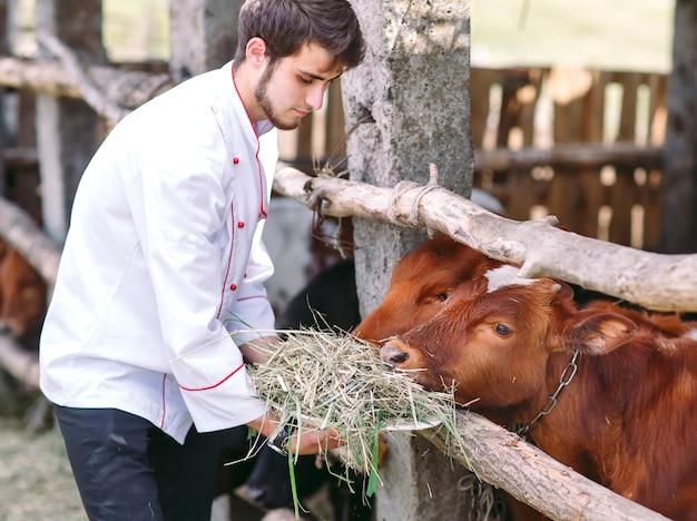 Fazenda agrícola. um homem alimenta vacas com feno.