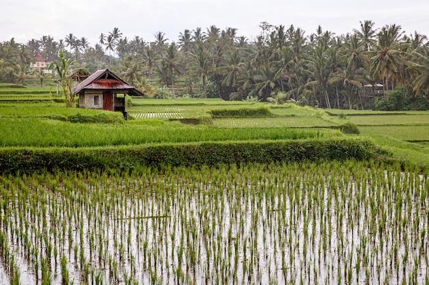 Fazenda asiática. casa com arrozais e floresta de palmeiras