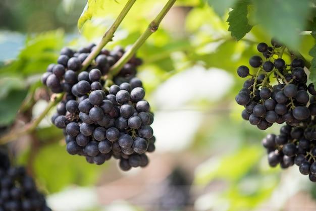 Fazenda colheita da uva