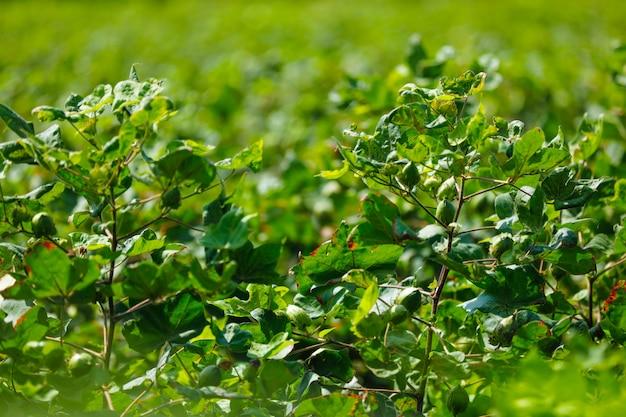 Fazenda de algodão verde