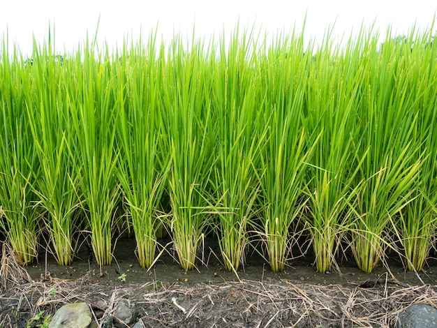 Fazenda de arroz- campo de arroz- arroz em casca, calças de arroz arroz em casca
