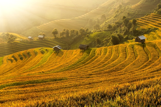 Fazenda de arroz de jasmim no vietnã.