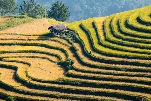Fazenda de arroz de jasmim tribal e em casca no vietnã.