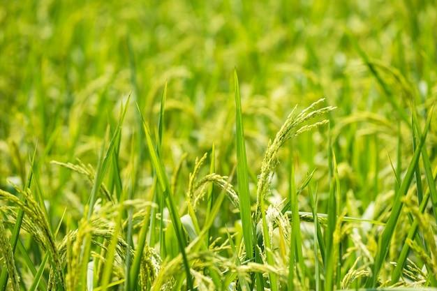 Fazenda de arroz de jasmim verde orgânico para colher