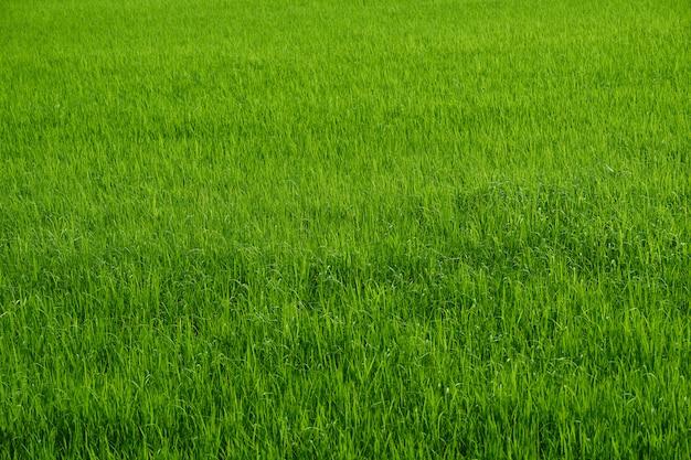 Fazenda de arroz na temporada de colheita verde no lado do país