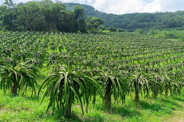 Fazenda de árvores frutíferas do dragão kenny na paisagem da tailândia