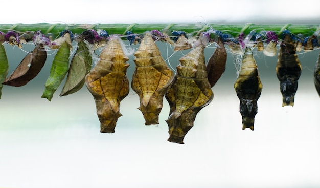Fazenda de borboletas. crisálidas diferentes de borboletas em um galho