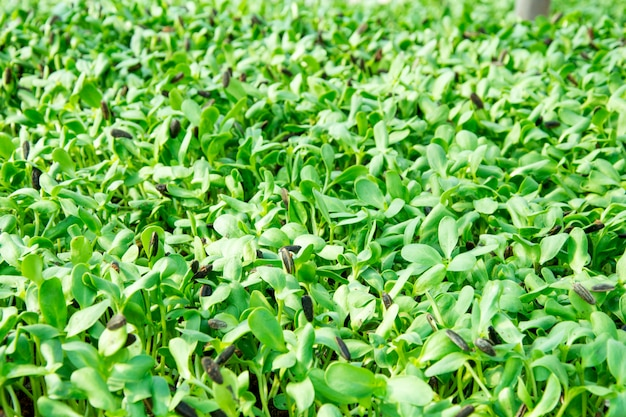 Fazenda de brotos de girassol