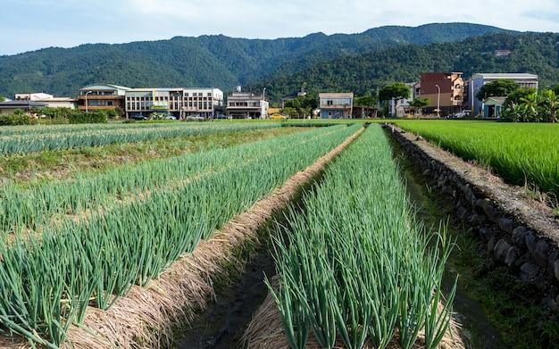 Fazenda de cebolas verdes em yilan, taiwan.