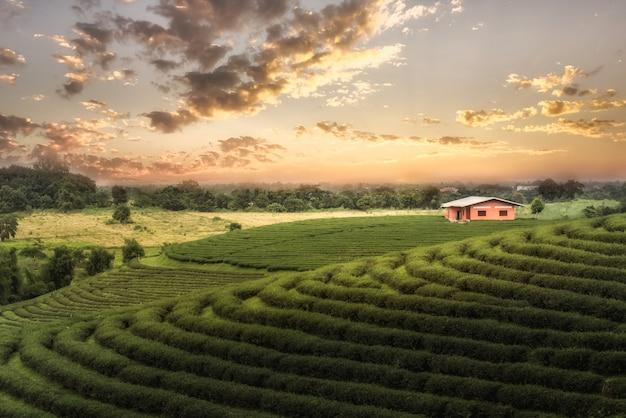 Fazenda de chá verde no chiang rai, tailândia