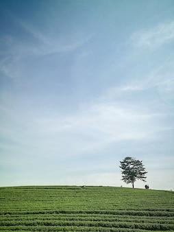 Fazenda de chá verde orgânico