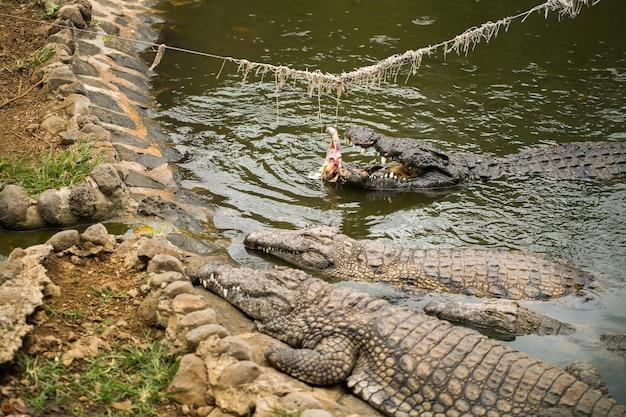 Fazenda de crocodilos, crocodilos sendo alimentados com frango amarrado a uma corda