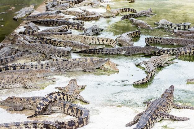 Fazenda de crocodilos